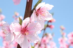 モモの花の写真素材 [FYI00090742]