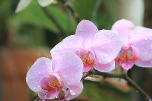 胡蝶蘭の写真素材 [FYI00090747]