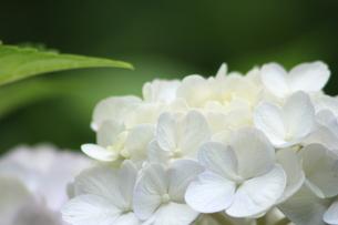 紫陽花の写真素材 [FYI00090748]