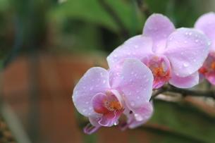 胡蝶蘭の写真素材 [FYI00090749]