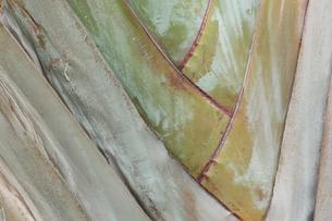 バナナの幹の写真素材 [FYI00090751]