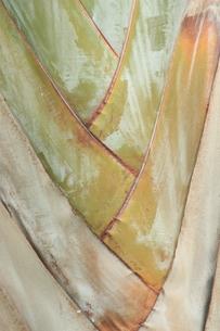 バナナの木の写真素材 [FYI00090756]