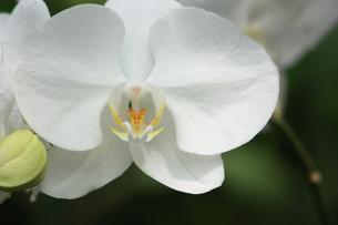 胡蝶蘭の写真素材 [FYI00090758]