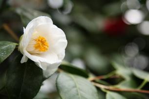 白ツバキ「塩見白花」の写真素材 [FYI00090765]