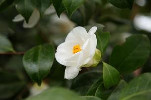 白ツバキ「塩見白花」の写真素材 [FYI00090772]
