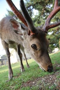 食事中の雄の鹿の写真素材 [FYI00091478]
