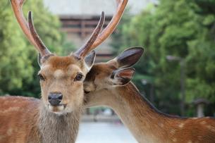 鹿のつがいの写真素材 [FYI00091481]