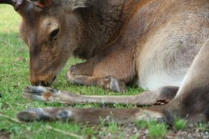 休憩中の雄鹿の写真素材 [FYI00091492]