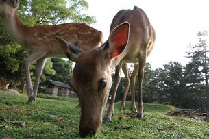 食事中の雌の鹿の写真素材 [FYI00091493]