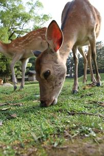 食事中の鹿ローアングルの写真素材 [FYI00091500]