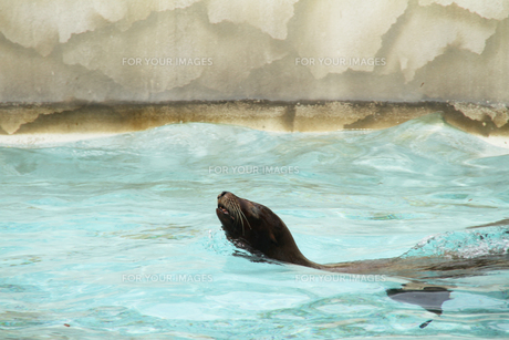 アシカの遊泳の写真素材 [FYI00091505]