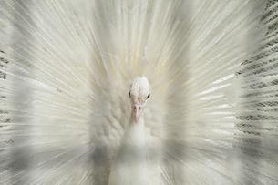 白孔雀の写真素材 [FYI00091512]