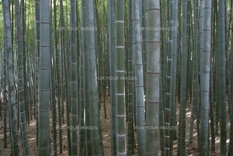 竹林の素材 [FYI00091565]