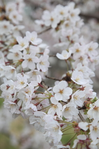 桜の写真素材 [FYI00091903]
