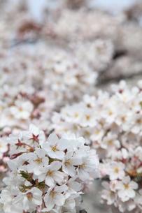 桜の写真素材 [FYI00091922]