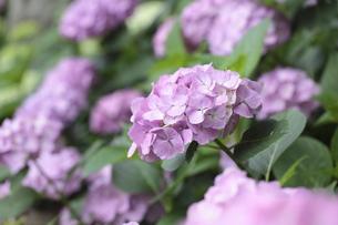 紫陽花の写真素材 [FYI00092045]