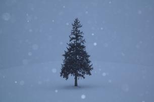 降雪に佇むクリスマスツリーの木の写真素材 [FYI00092066]