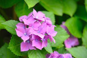 あじさいの花の写真素材 [FYI00092211]