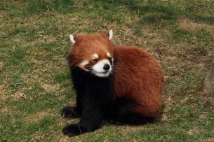 レッサーパンダの写真素材 [FYI00092267]