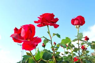 青空のバラの写真素材 [FYI00092287]