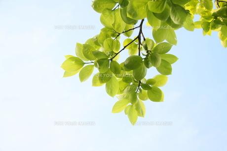 青空に新緑の写真素材 [FYI00092293]