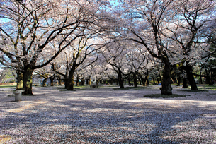 桜の花の絨毯の写真素材 [FYI00092303]