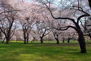 都立小金井公園の桜の写真素材 [FYI00092314]