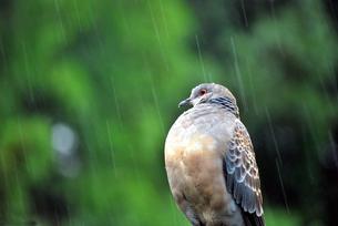 鳩の写真素材 [FYI00092328]