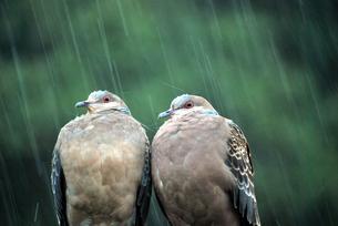 夫婦の鳩の写真素材 [FYI00092338]