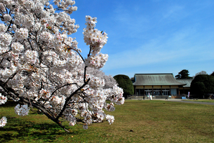 小金井公園の桜の写真素材 [FYI00092358]