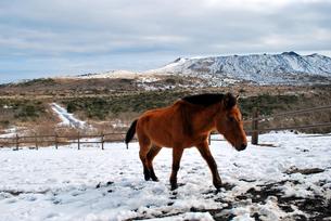 伊豆大島三原山の馬の写真素材 [FYI00092370]