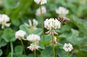 ミツバチとクローバーの素材 [FYI00092559]