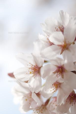 桜の花の素材 [FYI00092575]