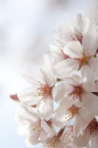 桜の花の写真素材 [FYI00092575]