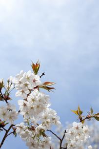 桜の花と青空の素材 [FYI00092584]