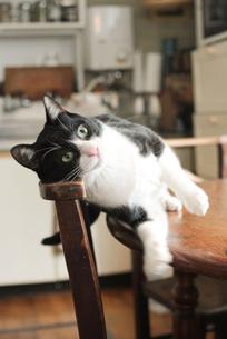 テーブルから落ちる猫の写真素材 [FYI00092807]