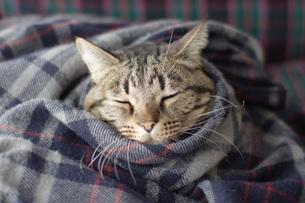 毛布にくるまる猫3の写真素材 [FYI00092818]