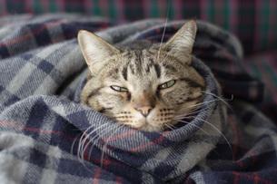 毛布にくるまる猫2の写真素材 [FYI00092825]
