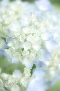 白と水色のアジサイ素材の写真素材 [FYI00093044]