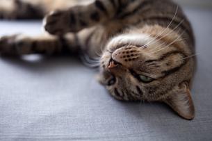 眠る猫の写真素材 [FYI00093100]