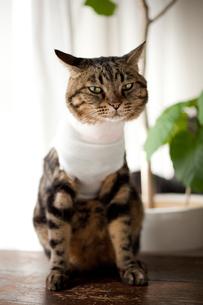 包帯を巻いた猫の写真素材 [FYI00093452]