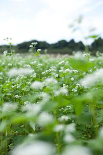 蕎麦の花の写真素材 [FYI00093455]