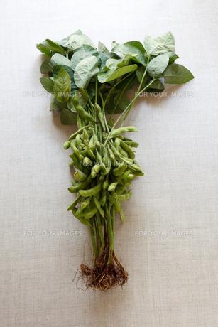 枝豆の素材 [FYI00093767]