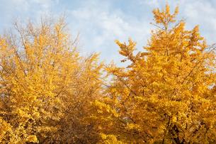 イチョウの木の写真素材 [FYI00093784]