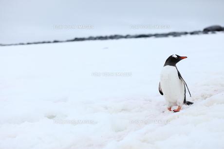 南極のペンギンの写真素材 [FYI00093965]