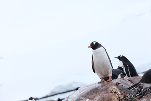 南極のペンギンの素材 [FYI00093977]