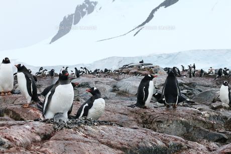 南極のペンギンの写真素材 [FYI00093993]