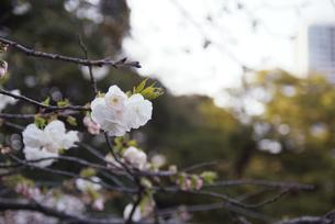 咲始めの桜の写真素材 [FYI00094115]