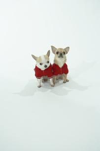 洋服を着た2匹の犬の写真素材 [FYI00094128]
