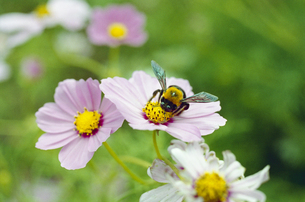 コスモスと蜂の素材 [FYI00094133]